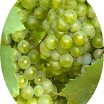 Uva Branca Chardonnay