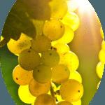 Uva Branca Moscato