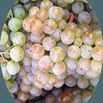 Uva Pinot Blanc