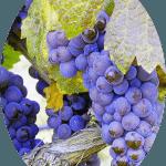 Uva Tinta Pinot Noir