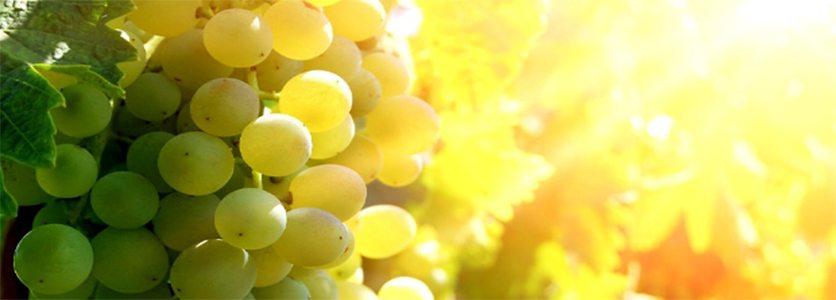 Os Tipos de Uvas Brancas
