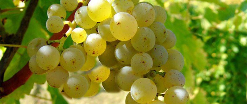 Uvas brancas Bordeaux